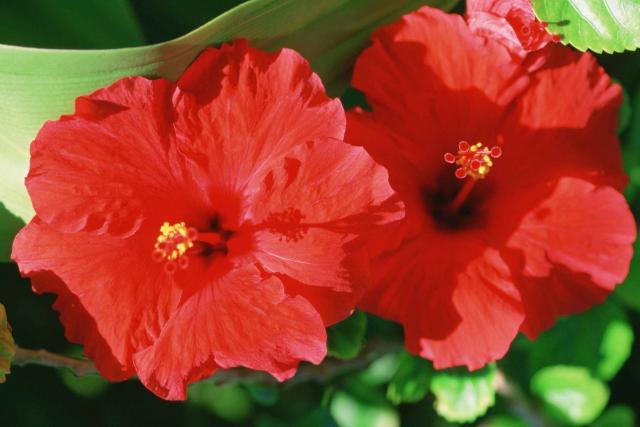 Caribbean, Bahamas, Close-up of Hibiscus flowers
