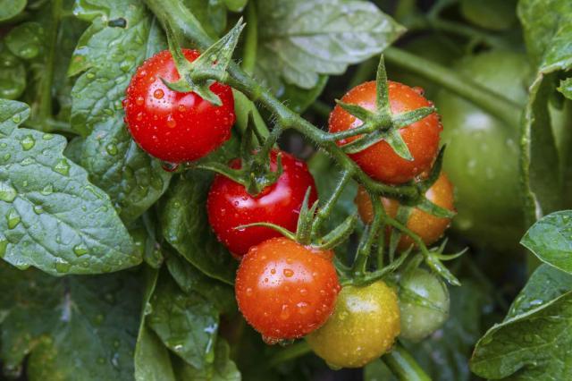 Natural looking tomato